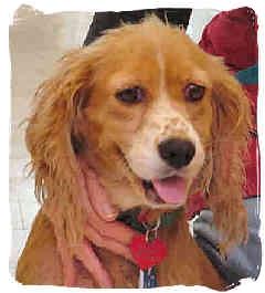 Cocker Spaniel Dog for adoption in San Diego, California - Maggie