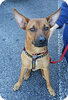 German Pinscher/German Shepherd Dog Mix Puppy for adoption in Oviedo, Florida - Dingo