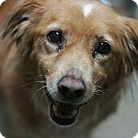 Adopt A Pet :: Goldie - Canoga Park, CA