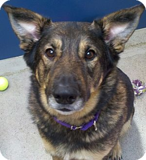 German Shepherd Dog/Australian Shepherd Mix Dog for adoption in Bellingham, Washington - Jake