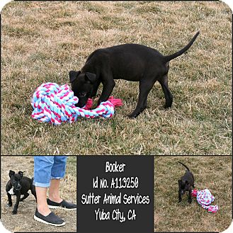 American Pit Bull Terrier Mix Puppy for adoption in Yuba City, California - 08/19 Booker