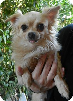 Chihuahua Dog for adoption in Orange, California - Edurado (Eddie)
