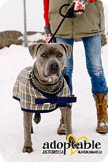 American Pit Bull Terrier Mix Dog for adoption in High River, Alberta - Knight