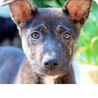German Shepherd Dog Mix Puppy for adoption in Los Angeles, California - XOE