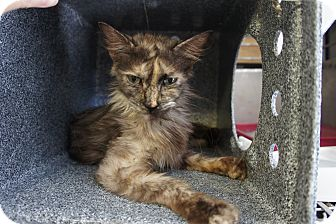 Domestic Mediumhair Kitten for adoption in Henderson, North Carolina - Patches