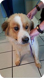 Spaniel (Unknown Type)/Golden Retriever Mix Dog for adoption in BIRMINGHAM, Alabama - Taz