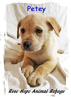Retriever (Unknown Type) Mix Puppy for adoption in Waterbury, Connecticut - Petey