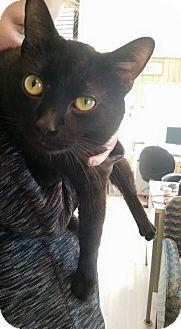 Domestic Shorthair Cat for adoption in Hanna City, Illinois - Romeo