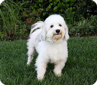 Havanese Mix Dog for adoption in Newport Beach, California - PALMER