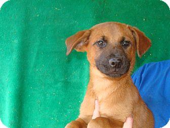 German Shepherd Dog/Labrador Retriever Mix Puppy for adoption in Oviedo, Florida - Felix