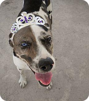 Catahoula Leopard Dog Mix Dog for adoption in Umatilla, Florida - Sadie