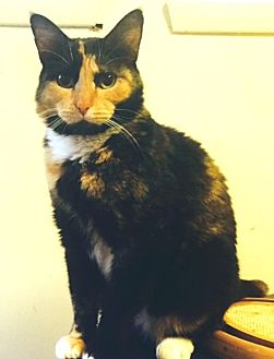 Domestic Shorthair Cat for adoption in Stanhope, New Jersey - Lily