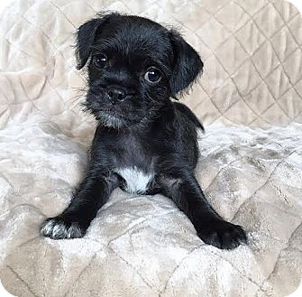Pug/Brussels Griffon Mix Puppy for adoption in santa monica, California - Laverne