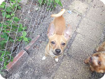 Chihuahua Dog for adoption in Old Town, Florida - Bennett