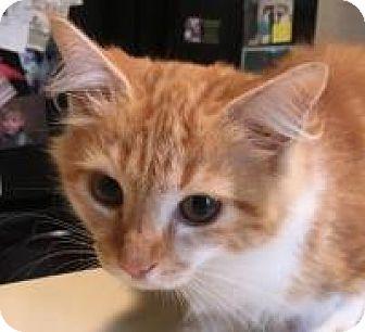 Domestic Mediumhair Kitten for adoption in Franklin, West Virginia - Sunny