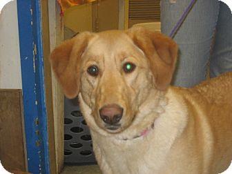 Golden Retriever/Labrador Retriever Mix Dog for adoption in Kankakee, Illinois - Matilda