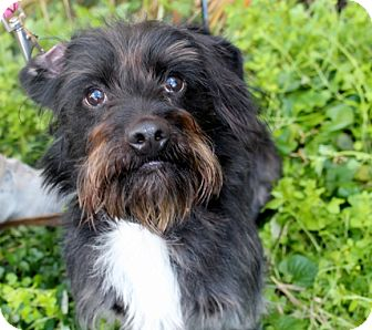 Terrier (Unknown Type, Small) Mix Dog for adoption in Wilmington, Delaware - Griffin