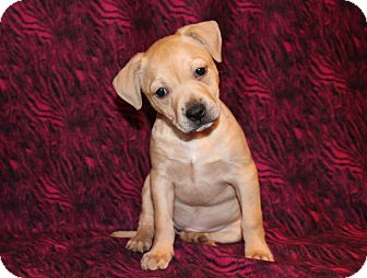 Labrador Retriever/American Staffordshire Terrier Mix Puppy for adoption in Los Angeles, California - Dixie Chick