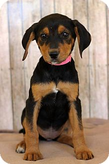 Beagle Mix Puppy for adoption in Waldorf, Maryland - Haley