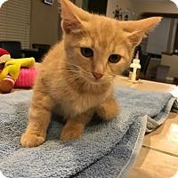 Adopt A Pet :: Pumpkin - Sacramento, CA