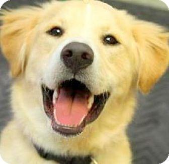 Golden Retriever/Labrador Retriever Mix Dog for adoption in Wakefield, Rhode Island - CHARLIE(OUR SMILING GOLDEN/LAB