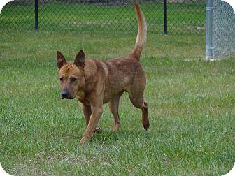 Shepherd (Unknown Type) Mix Dog for adoption in Henderson, North Carolina - Dino (HW Pos)**