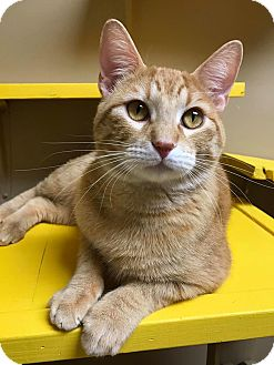Domestic Shorthair Cat for adoption in Maryville, Missouri - Scitz