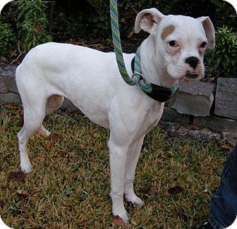 Boxer Dog for adoption in Houston, Texas - PEARL