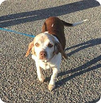 Beagle Dog for adoption in Summerville, South Carolina - Betsy