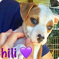Adopt A Pet :: Chili - Boca Raton, FL