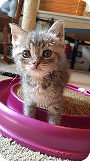 Domestic Mediumhair Kitten for adoption in Morristown, New Jersey - Charlie