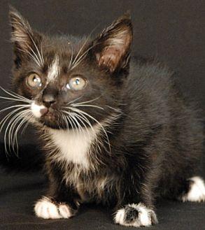 Domestic Shorthair Kitten for adoption in Newland, North Carolina - India