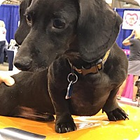 Adopt A Pet :: Bauer - Pearland, TX