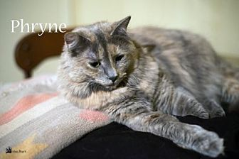 Domestic Mediumhair Cat for adoption in Richardson, Texas - Phryne-13470
