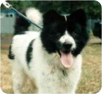 Border Collie/Akita Mix Dog for adoption in Aldie, Virginia - Maximilian