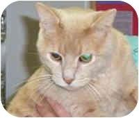 Domestic Shorthair Cat for adoption in Murphysboro, Illinois - Mr. C