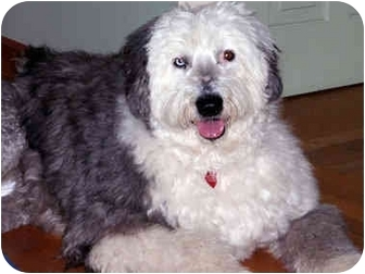 Old English Sheepdog Dog for adoption in Lincoln, Massachusetts - Sophie II