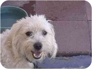 Cockapoo/Cairn Terrier Mix Dog for adoption in Los Angeles, California - Scruffy