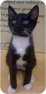 Domestic Shorthair Kitten for adoption in Modesto, California - Eric