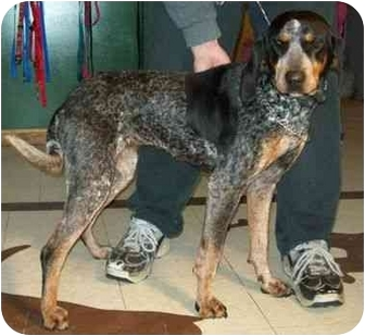 Bluetick Coonhound Dog for adoption in North Judson, Indiana - Betty