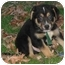 Photo 1 - German Shepherd Dog/Border Collie Mix Puppy for adoption in Brattleboro, Vermont - Elliot