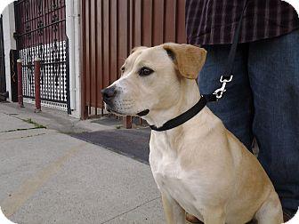 Labrador Retriever Mix Dog for adoption in Burbank, California - Suzie Q