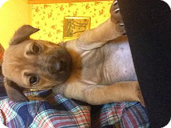 Shepherd (Unknown Type) Mix Puppy for adoption in Long Beach, California - Sunny