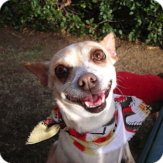 Chihuahua Mix Dog for adoption in El Cajon, California - Josie