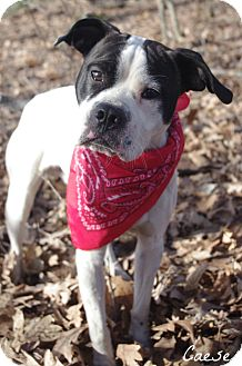 Boston Terrier Mix Dog for adoption in Poland, Ohio - CAESER // 4 (RESCUED)