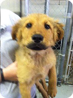 Labrador Retriever/Shepherd (Unknown Type) Mix Puppy for adoption in Shelter Island, New York - Thunder