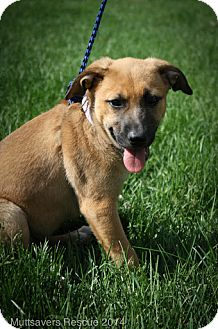 Shepherd (Unknown Type) Mix Puppy for adoption in Broomfield, Colorado - Lilac