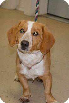 Basset Hound/Hound (Unknown Type) Mix Dog for adoption in Mt Sterling, Kentucky - Beau