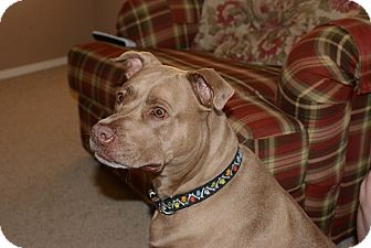 American Staffordshire Terrier Mix Dog for adoption in Higley, Arizona - EVA