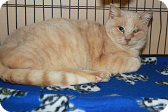 Domestic Shorthair Cat for adoption in Rochester, Minnesota - McCormick